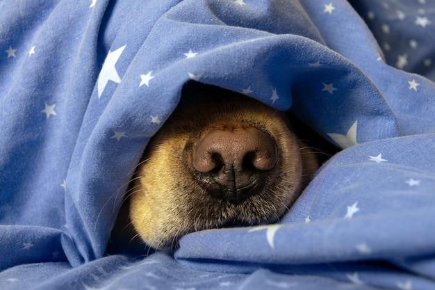 O nariz do cachorro está sob as cobertas. o conceito de calor, conforto, frio, inverno, outono.