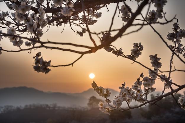 O nascer do sol de fazendas de ameixa