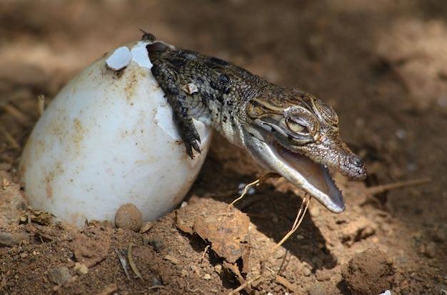 O novo bebê crocodilo eclodiu