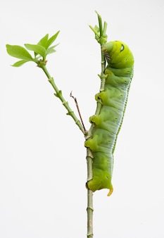O oleandro hawk moth caterpillar (nerii do daphnis, sphingidae), escala na planta, isolada no fundo branco.