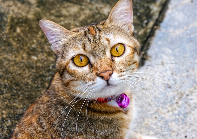 O olhar bonito do gato ou considera na câmera durante toma uma foto.