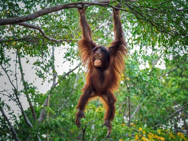 O orangotango está brincando na árvore.