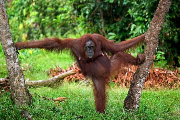 O orangotango está parado nas patas traseiras na selva. indonésia. a ilha de kalimantan (bornéu).