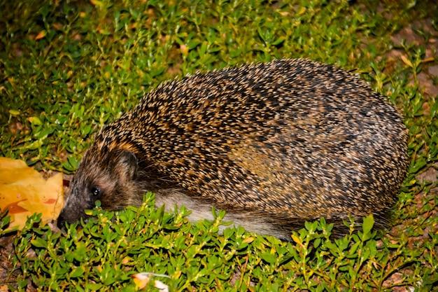 O ouriço na grama verde. verão. ouriço, ouriço selvagem, europeu na grama verde com fundo verde. em ambiente natural ao ar livre. erinaceus europaeus. panorama.