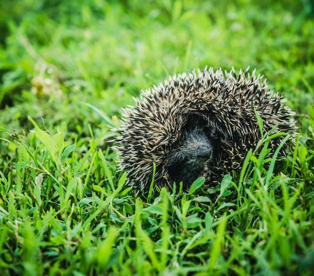 O ouriço pequeno com funcionamentos em uma grama verde.
