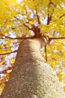 O outono amarelo dourado sae da opinião de treetop. folha colorida deixa no por do sol.