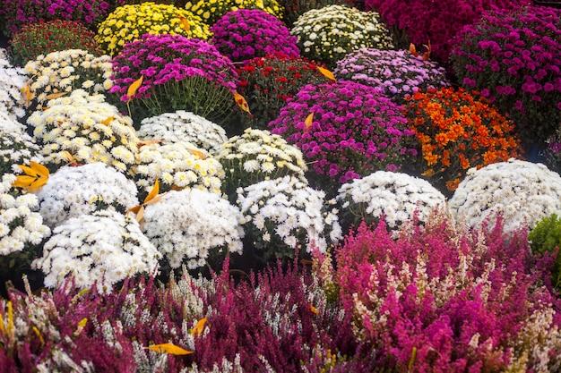 O outono colorido vibrante floresce no mercado ao ar livre da flor.