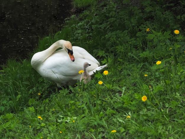 O pai adulto cisne cuida de um bebê pequeno cisne na primavera.