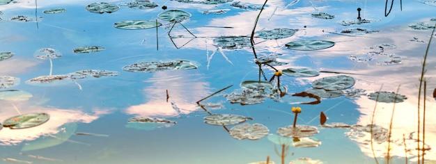 O pântano bonito com lírio de água amarela sae na superfície do pântano.