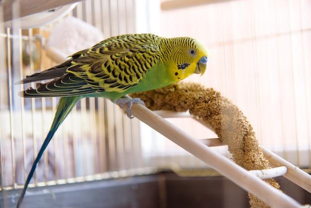 O papagaio come da grama seca da orelha. periquito verde bonito senta-se na gaiola