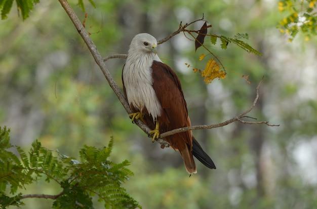 O papagaio de brahminy na ação relaxa no ramo de árvore.