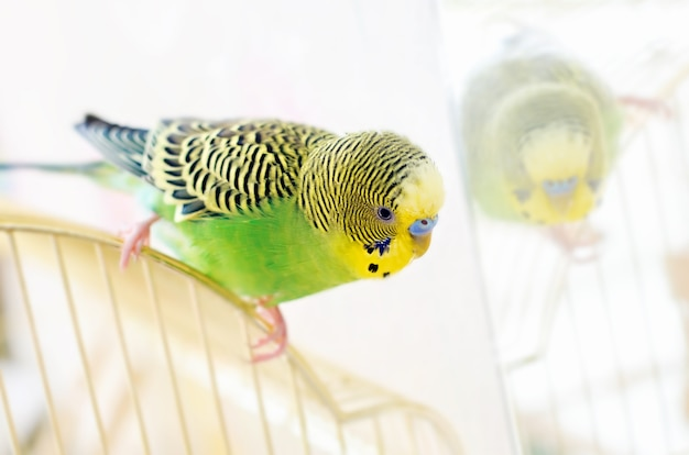 O papagaio verde do periquito australiano senta-se na gaiola perto do espelho. periquito bonito.