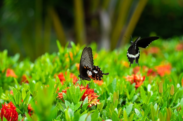 O papilio maackii poliniza as flores com uma borboleta tropical de dia incrivelmente lindo. borboleta preta e branca bebe néctar de flores. cores e beleza da natureza.