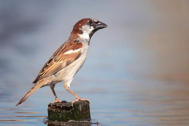 O pardal macho eurasiático (passer montanus) fica em uma colina na água.