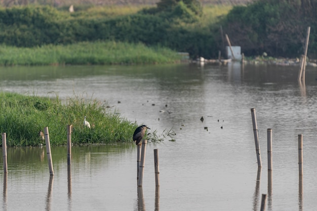 O parque pantanoso é ecologicamente bom. aves como as garças estão caçando.