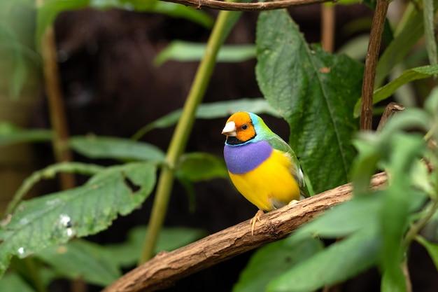 O passarinho de gould ou erythrura gouldiae pequeno pássaro colirful sentado em um galho de árvore entre folhas verdes