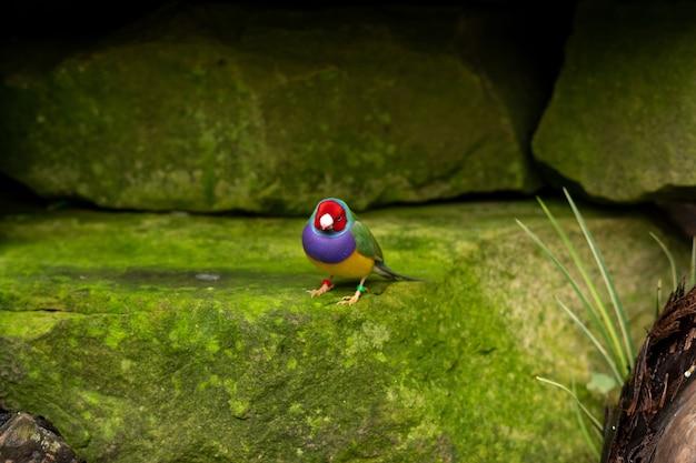 O passarinho de gould ou erythrura gouldiae pequeno pássaro colorido sentado em uma pedra em um zoológico