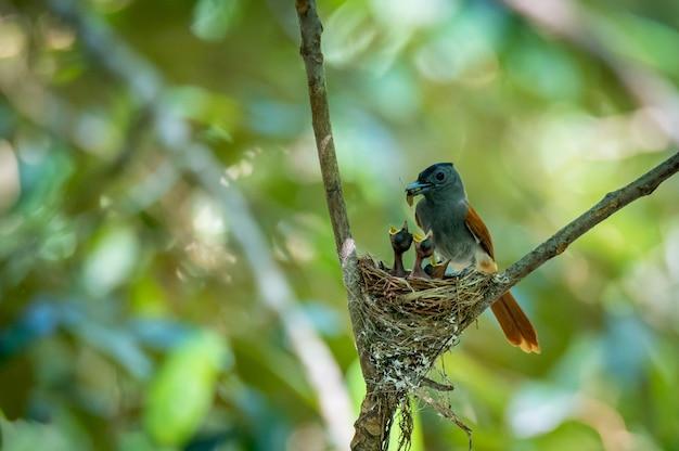 O pássaro asian paradise flycatcher alimenta suas presas para seus bebês