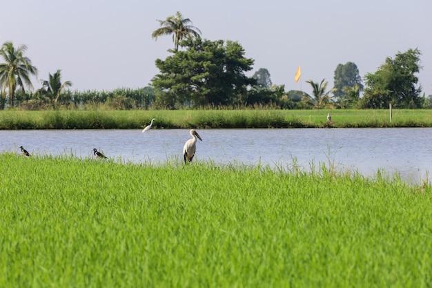 O pássaro branco no campo de arroz baby green no interior da tailândia
