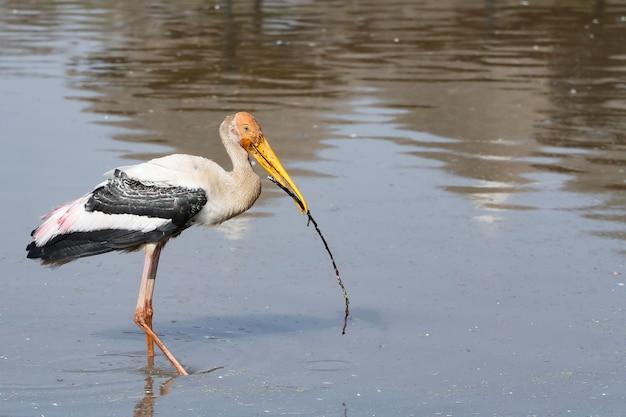 O pássaro cegonha pintada (mycteria leucocephala) está mordendo o galho na água