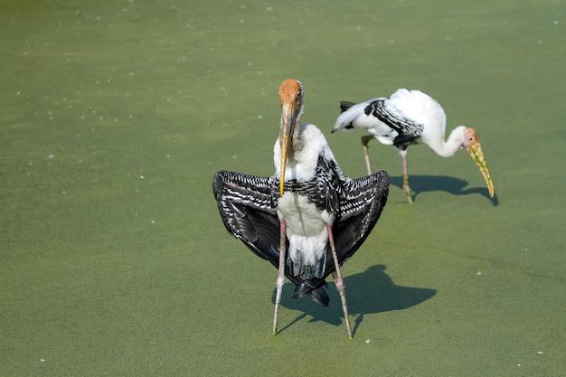 O pássaro cegonha pintada (mycteria leucocephala) mostra asas secas e se alimentando da água