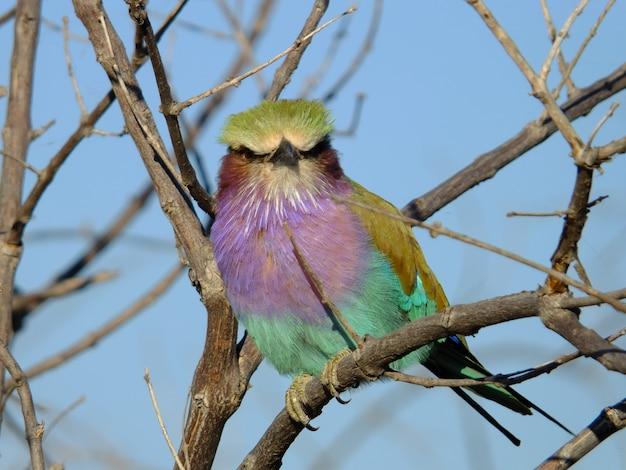 O pássaro chobe, botsuana, áfrica