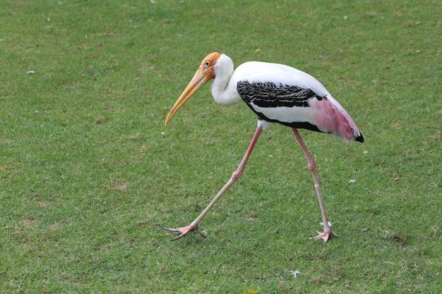 O pássaro da cegonha pintada caminhando na grama