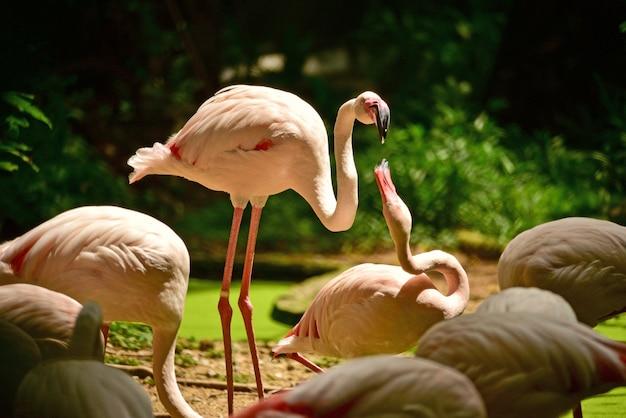 O pássaro do flamingo está alimentando outro na tarde.