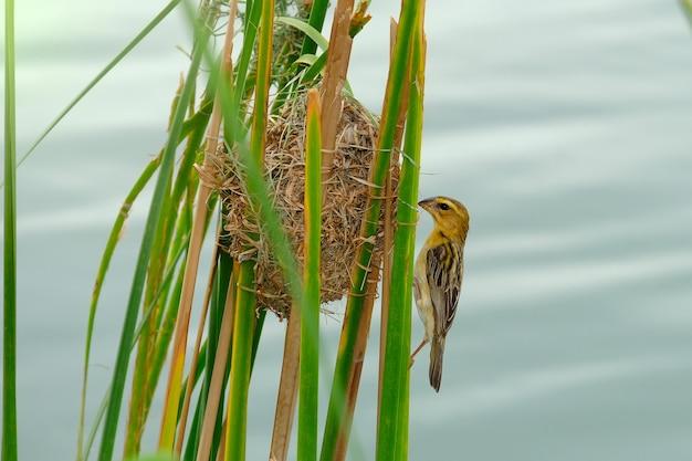 O pássaro dourado asiático do tecelão na natureza.