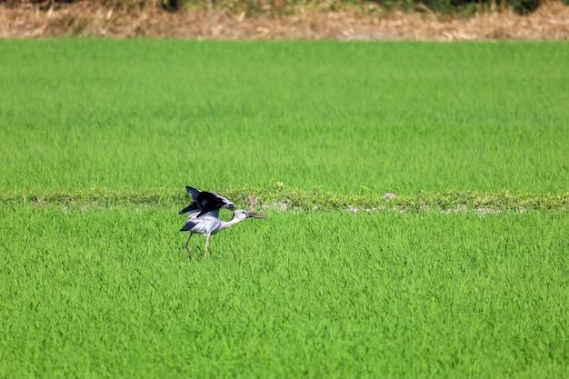 O pássaro em um campo de arroz no interior da ásia
