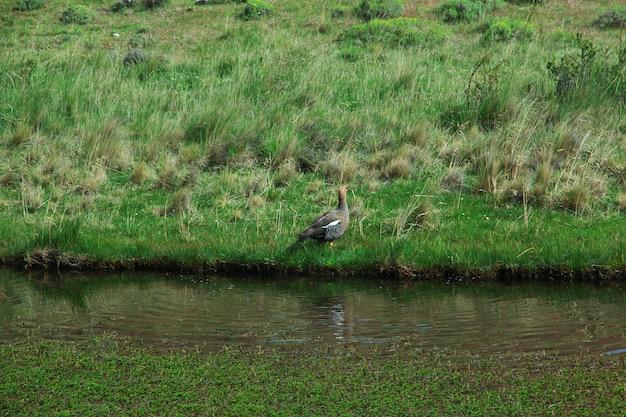 O pássaro no parque nacional torres del paine, patagonia, chile