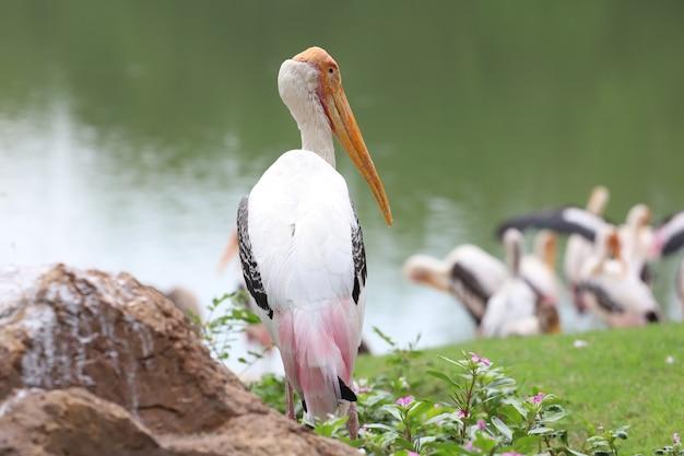 O pássaro painted stork caminhando na grama com um lago ao fundo
