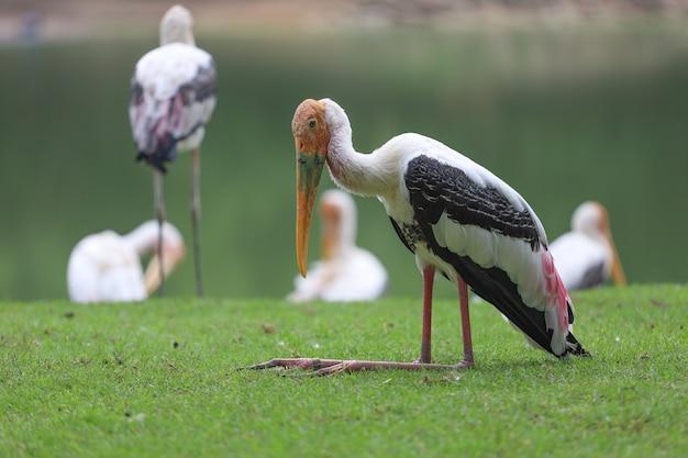 O pássaro painted stork sentado na grama com um lago e mais pássaros ao fundo
