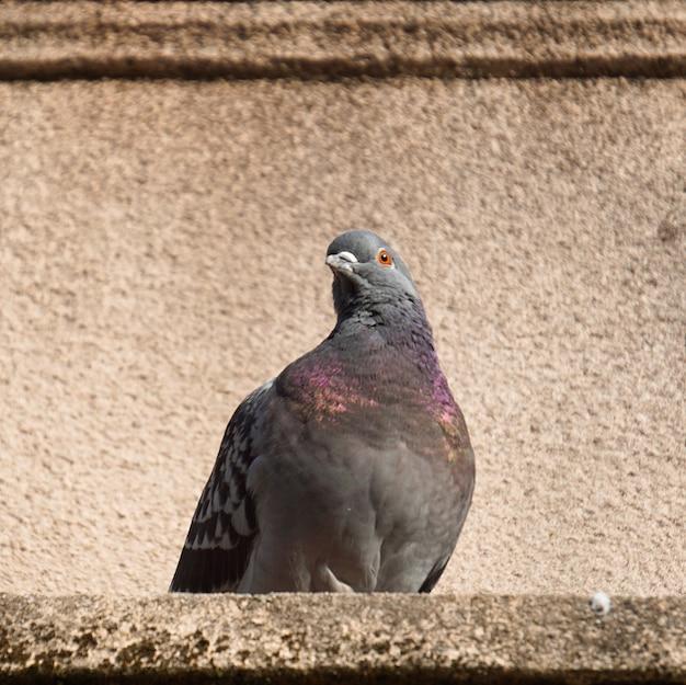 O pássaro pombo no parque na natureza