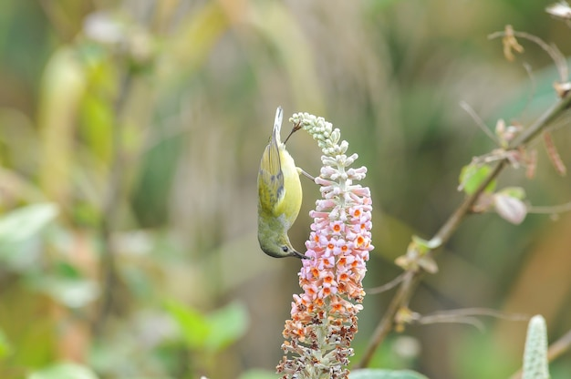 O pássaro solar da sra. gould. feminino, lindo pássaro