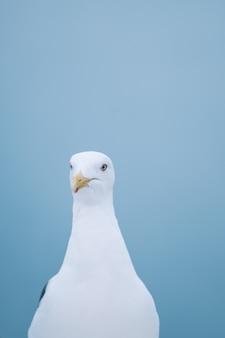 O pássaro starling de bochechas brancas