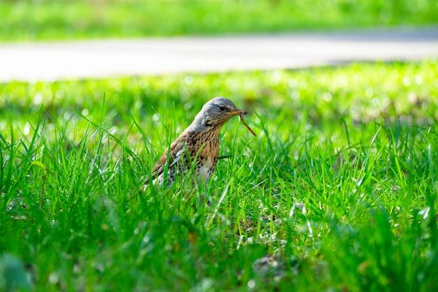 O pássaro turdus pilaris b segura um verme capturado em seu bico. primavera, a grama é verde em toda a volta. o canto dos pássaros, close-up