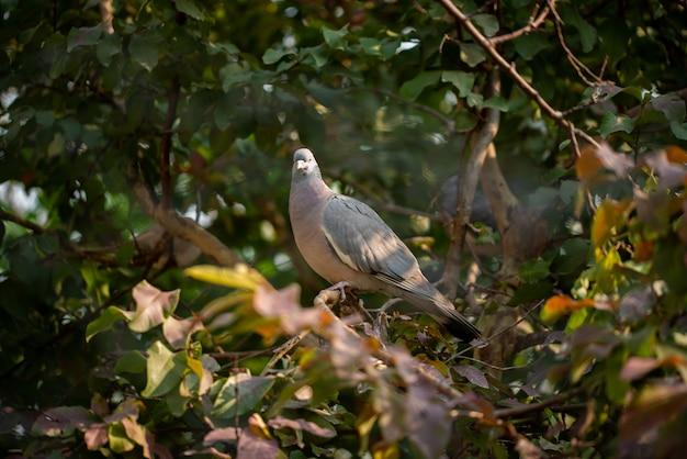 O pássaro wild dove estava sentado em uma árvore na manhã de inverno.