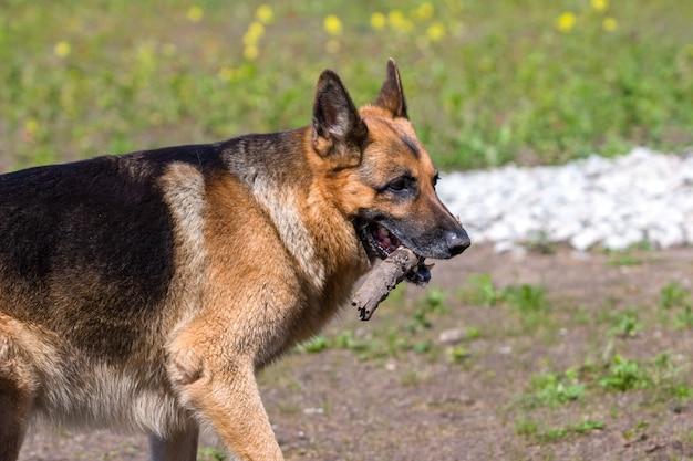 O pastor alemão adulto de lado carrega um pedaço de pau na boca