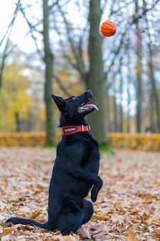 O pastor alemão negro executa o comando para sacar, pegando a bola rapidamente. cão de treinamento de obediência.