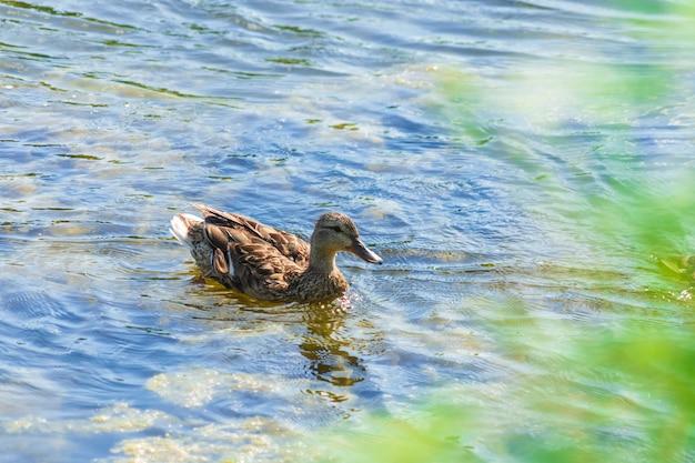 O pato cinzento nada no lago em um dia ensolarado no verão.