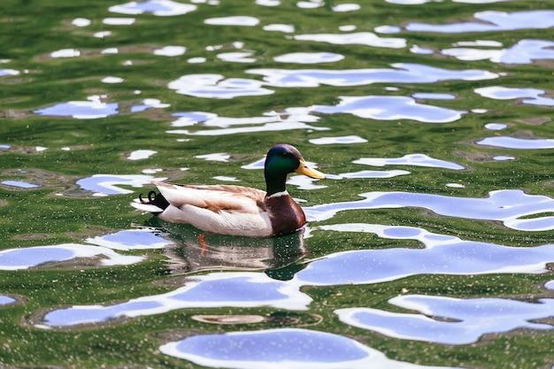 O pato de madeira lago natureza animal drake vida selvagem