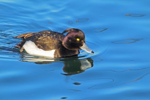 O pato de tufos aythya retrato da fuligula com reflexo de água.