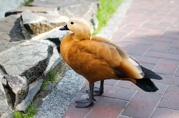 O pato marrom andando sozinho no chão