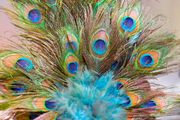 O pavão empluma-se com foco seletivo do detalhe alto no centro.