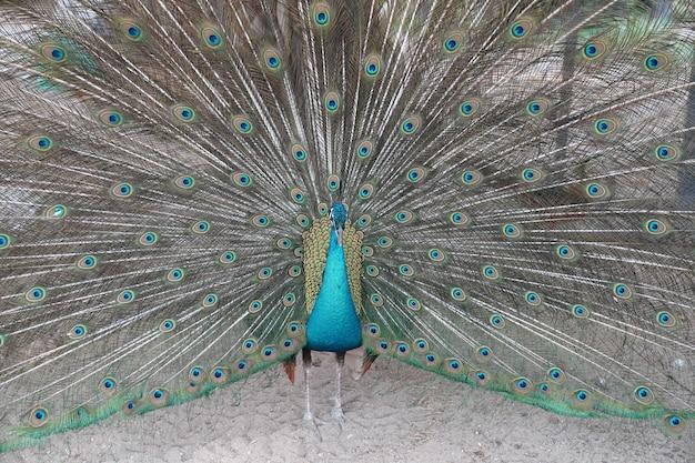 O pavão macho está espalhando e mostrando o rabo de pena para o pré-coque feminino.