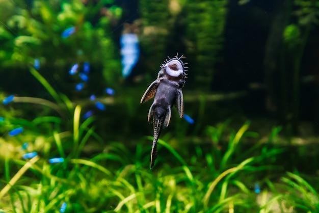 O peixe ancistrus dolichopterus nada na água