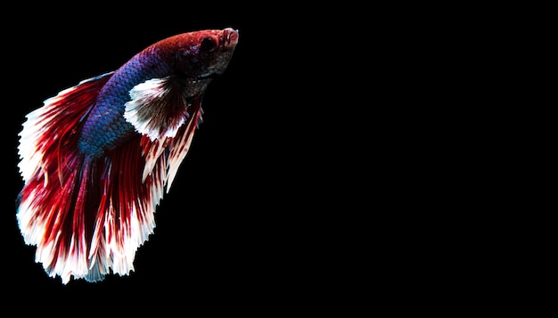 O peixe da tailândia é colorido sobre fundo preto