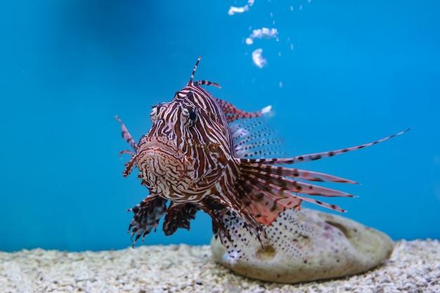 O peixe leão vermelho na água sobre fundo azul