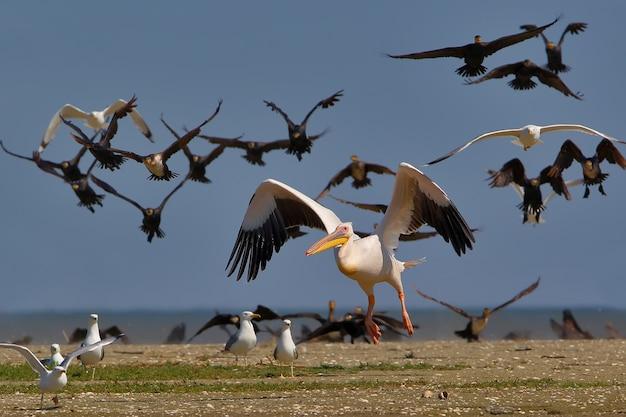 O pelicano branco decola da água da matilha de cormorões e gaivotas